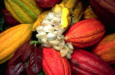 And the luscious beans within the fruit are where we get our RAW CACAO from!! Oh yeah, and when mixed with pasteurized dairy derivatives and refined sugar, we also get crappy, low energy ordinary chocolate products. :)