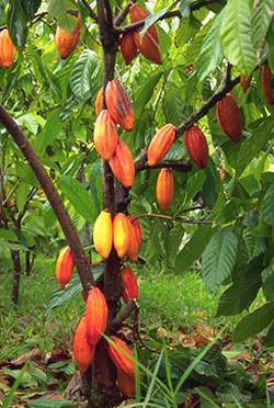Here is the fruit of the cacao tree, native to South America near the equator...