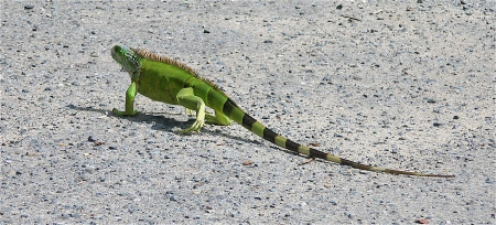 Check out this cool iguana I saw next to our car one morning in Puerto Rico! He was about 2 feet long!