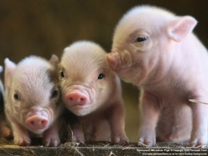 pigs_at_pennywell_S